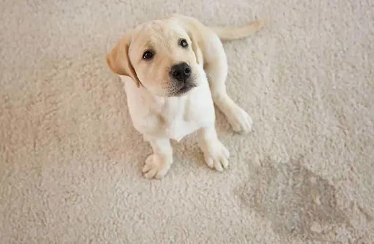 Hund, der auf den Teppich gemacht hat
