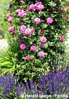 rosen-lavendel