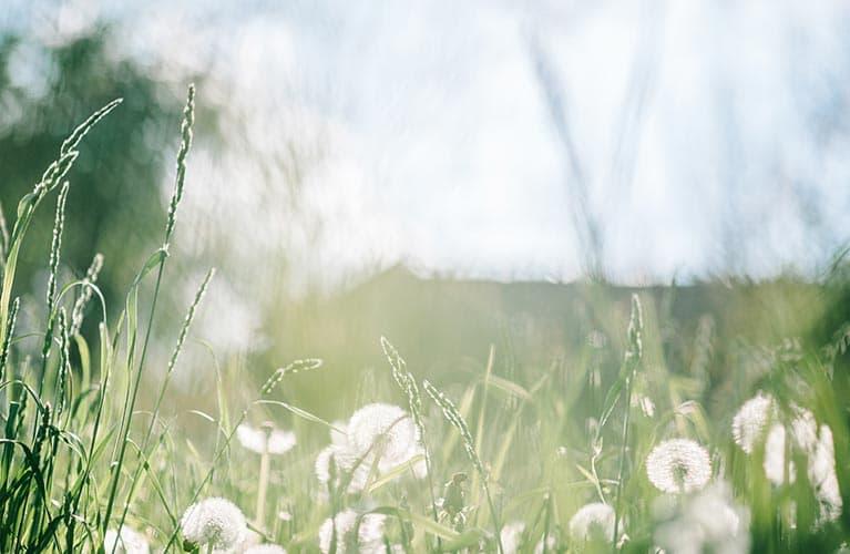 Heuschnupfen-Gras-und-Pusteblume