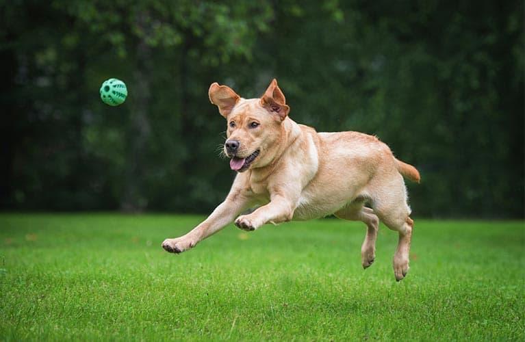 Hund springt hinter ein Ball her